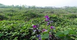 নোয়াখালীতে সর্জন পদ্ধতিতে শিম চাষ