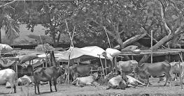আম্ফান ঘূর্ণিঝড়ে সাড়ে ৮৪ হাজার গবাদি পশু আশ্রয়ের ব্যবস্থা
