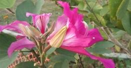সুশোভন রক্তকাঞ্চনে নোয়াখালী বিজ্ঞান ও প্রযুক্তি বিশ্ববিদ্যালয়