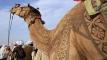 উটের গায়ে বাহারি নকশা, ঐতিহ্যকে সঙ্গে নিয়ে বাড়াচ্ছে আকর্ষণ